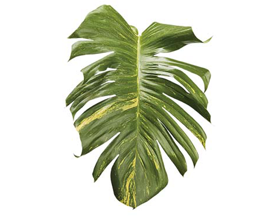 Tropical foliage png. Heliconias net pothos
