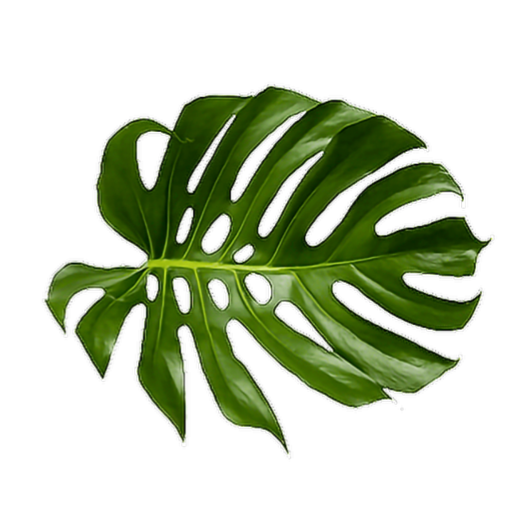 Tropical green leaves png. Leaf swiss cheese plant