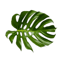 Tropical palm png. Download leaf category clipart