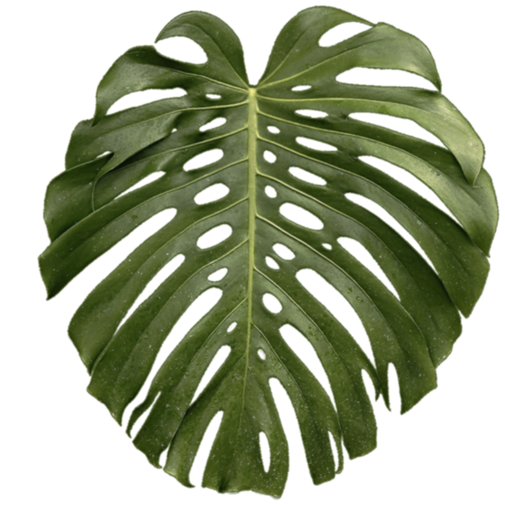 Tropical plant leaf png. Swiss cheese tropics transprent