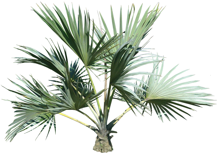 Palm plant png. Tree images download free