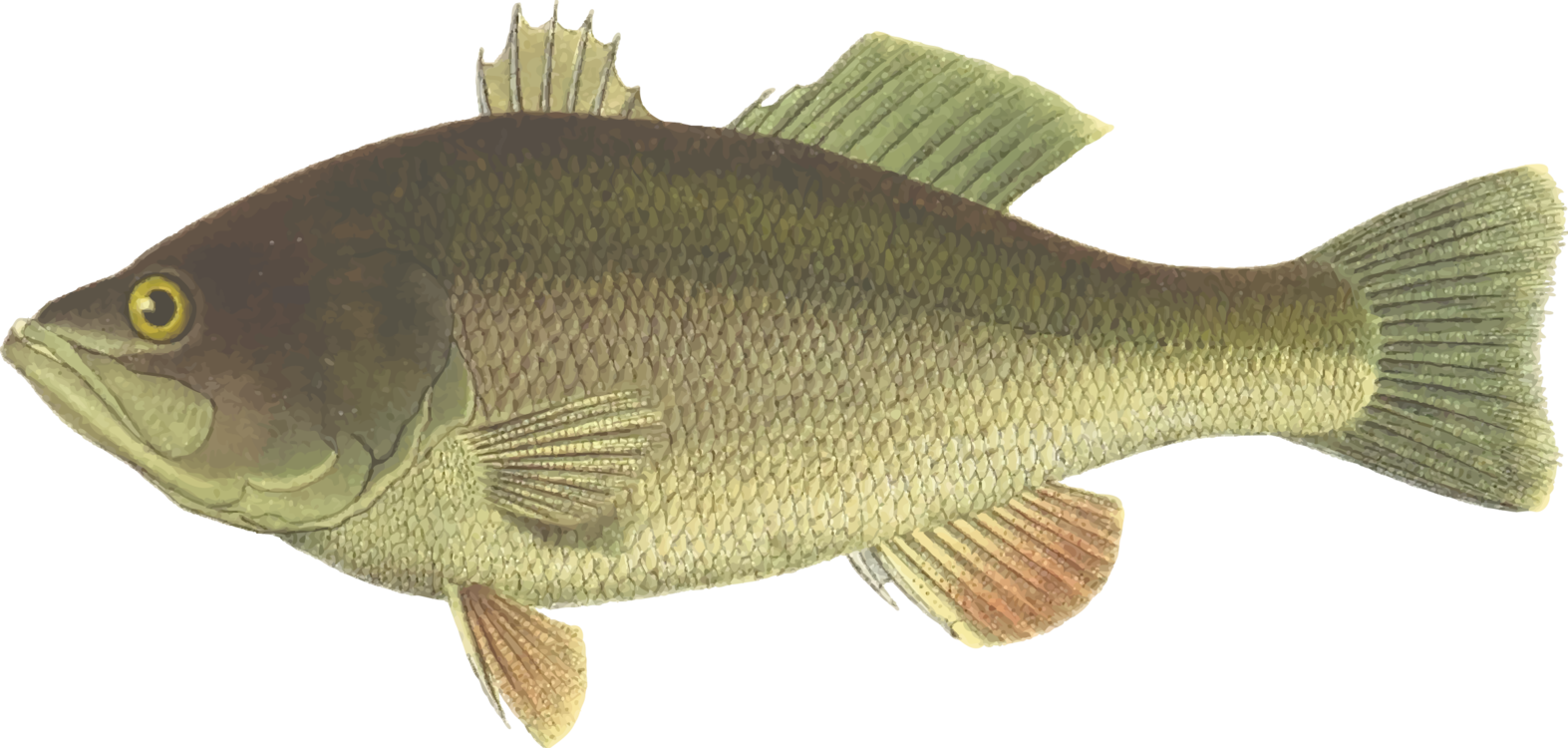 Trout clipart carp. Perch largemouth bass fish