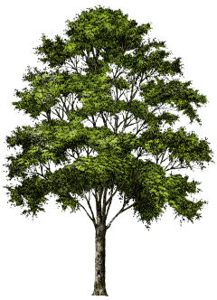 Pin oak png. By sorour dehghani on