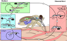 Trypanosoma vector. Brucei wikipedia life cycle