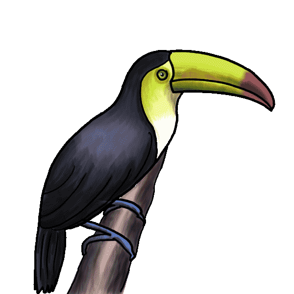Tucan drawing. Instructions on how to