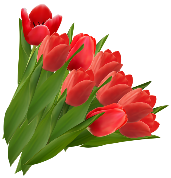 Tulip transparent clear background. Pin by courtney patterson