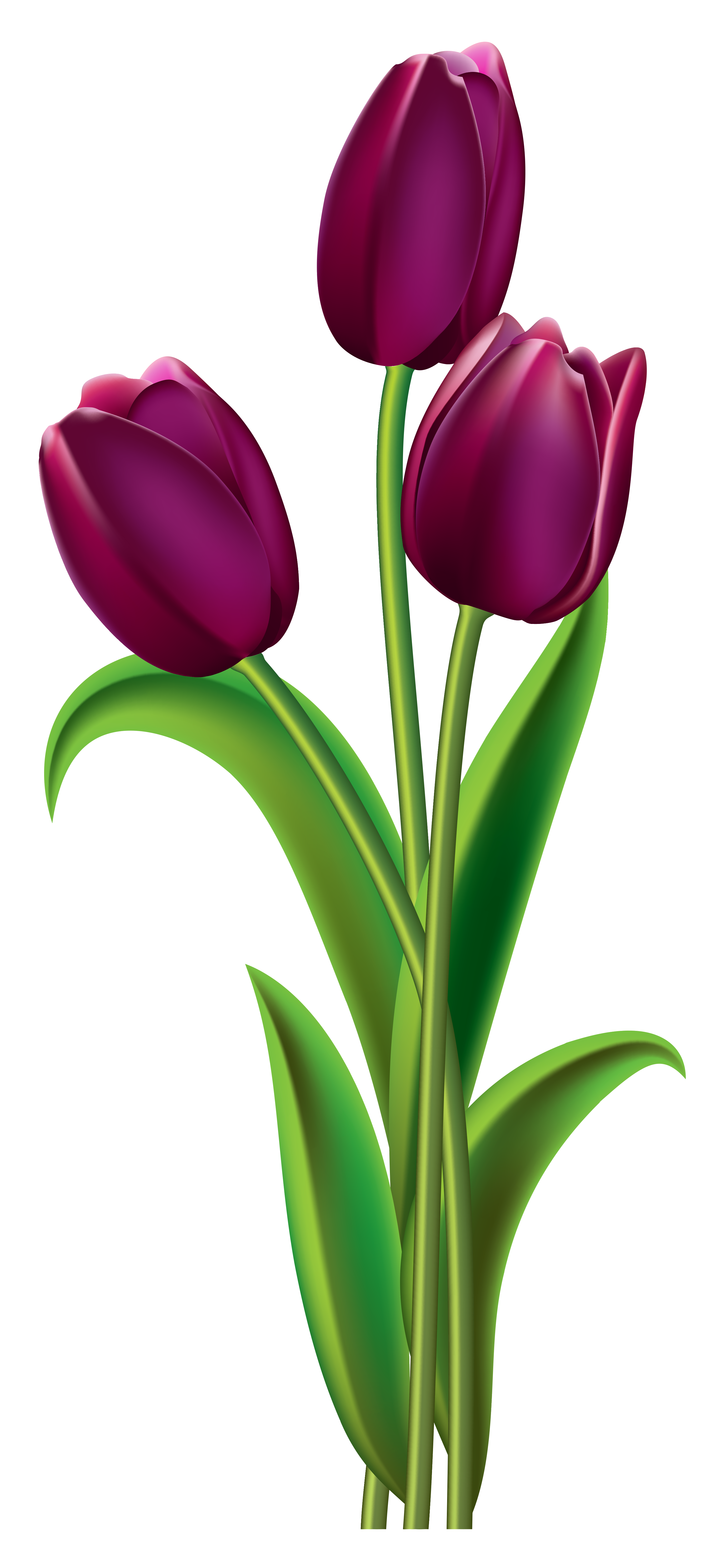 Tulip clipart transparent background. Tulips png picture gallery