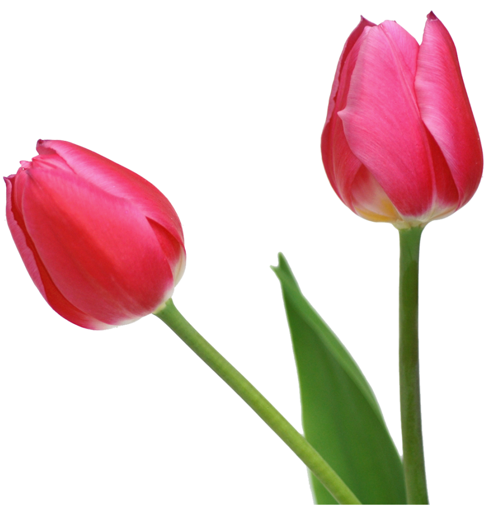 Tulip flower png. Transparent tulips flowers clipart