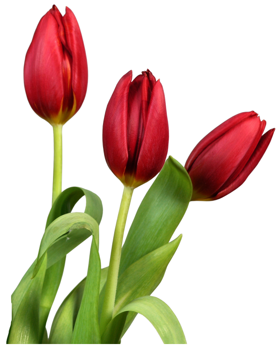 Tulips flowers clipart clip. Tulip transparent red picture black and white stock