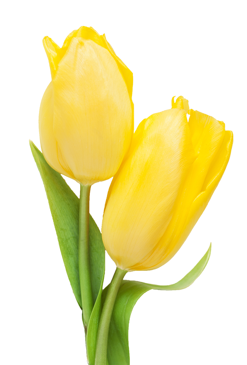 Tulip transparent yello. Yellow canadian festival all