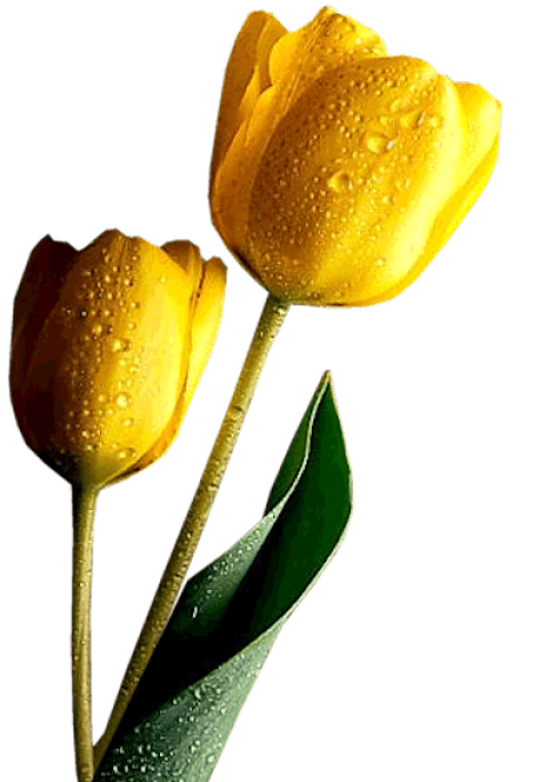 Tulip transparent yello. Yellow tulips png free