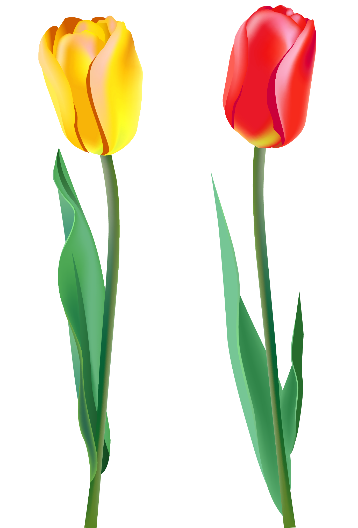 Transparent spring tulip. Tulips png clipart gallery