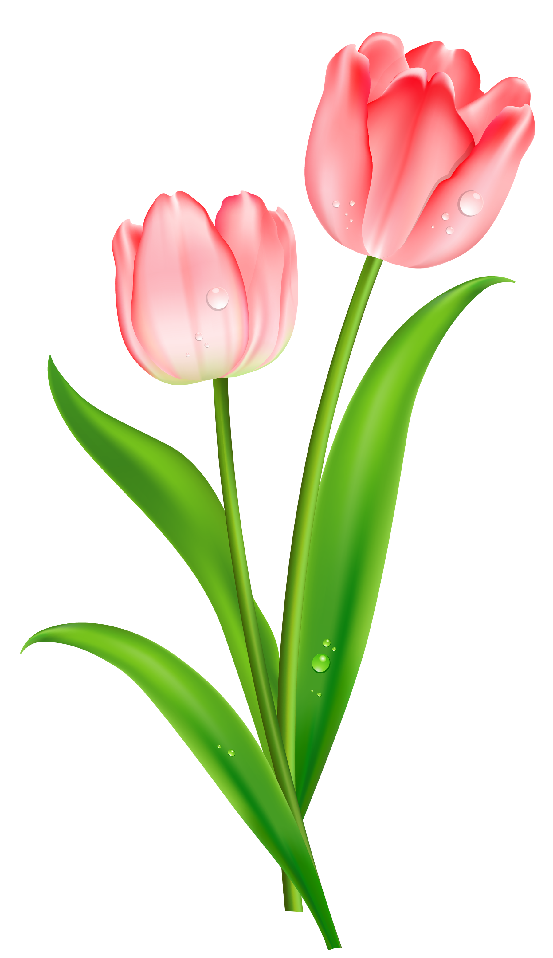Tulips clipart pink tulips. Tulip png images free