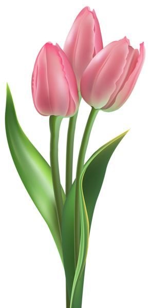 Tulips clipart pink tulips. Soft png image one