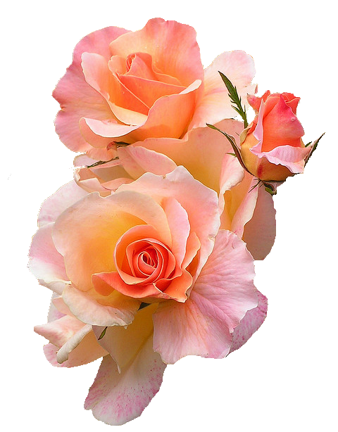 Tumblr roses png. Image mntc psqad qdx