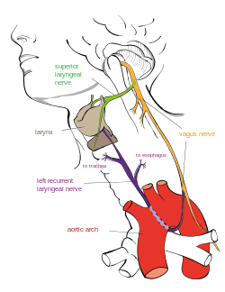 Tumor drawing nerve. Recurrent laryngeal wikipedia a