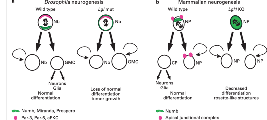 Tumor drawing neural. Role of lgl in