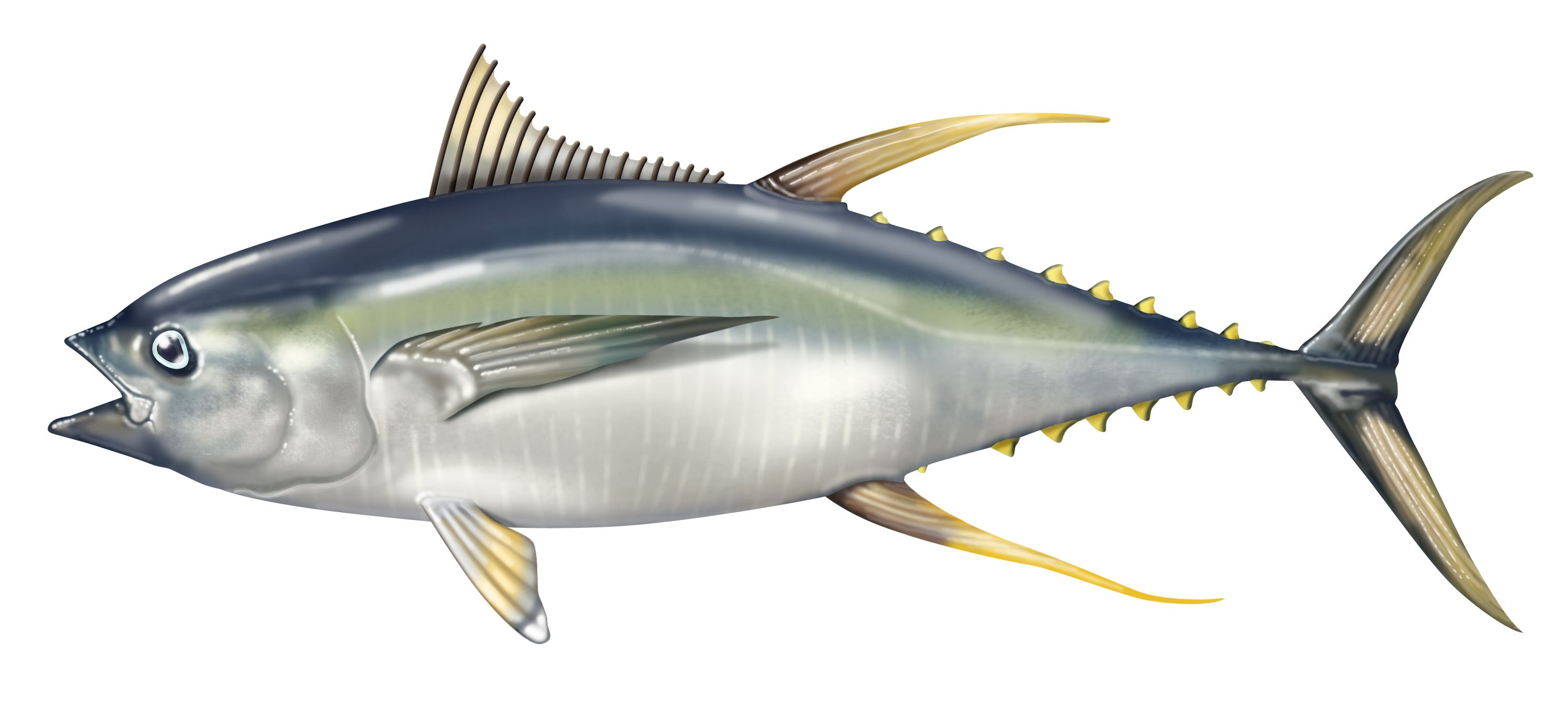 Tuna clipart fish protein. Is high lean superfood