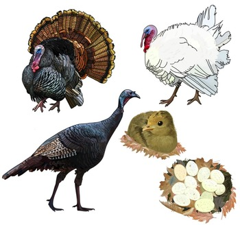 Turkey clip art realistic. Illustrations by utahroots tpt
