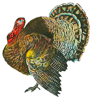 Drawing turkey realistic. Pictures and clip art