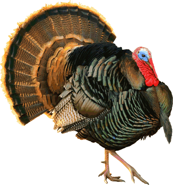 Turkey clip art wild turkey. Another proud tom and