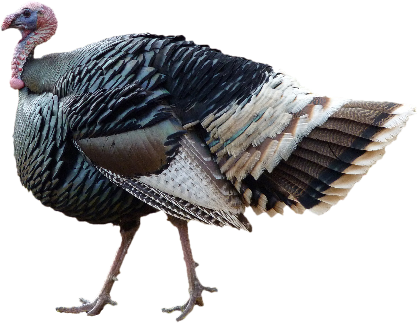 Turkey png. Free standing thanksgiving day