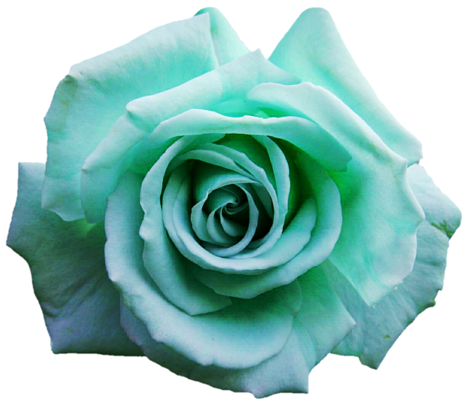 Turquoise flower png. Teal rose by jeanicebartzen