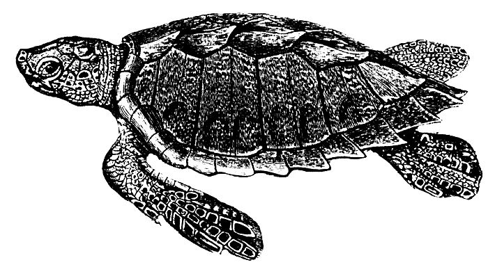 best sea turtles. Turtle clipart hawksbill turtle graphic royalty free
