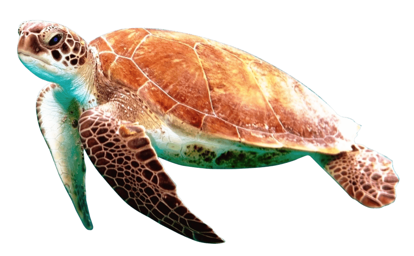 Turtle png. Free images toppng transparent