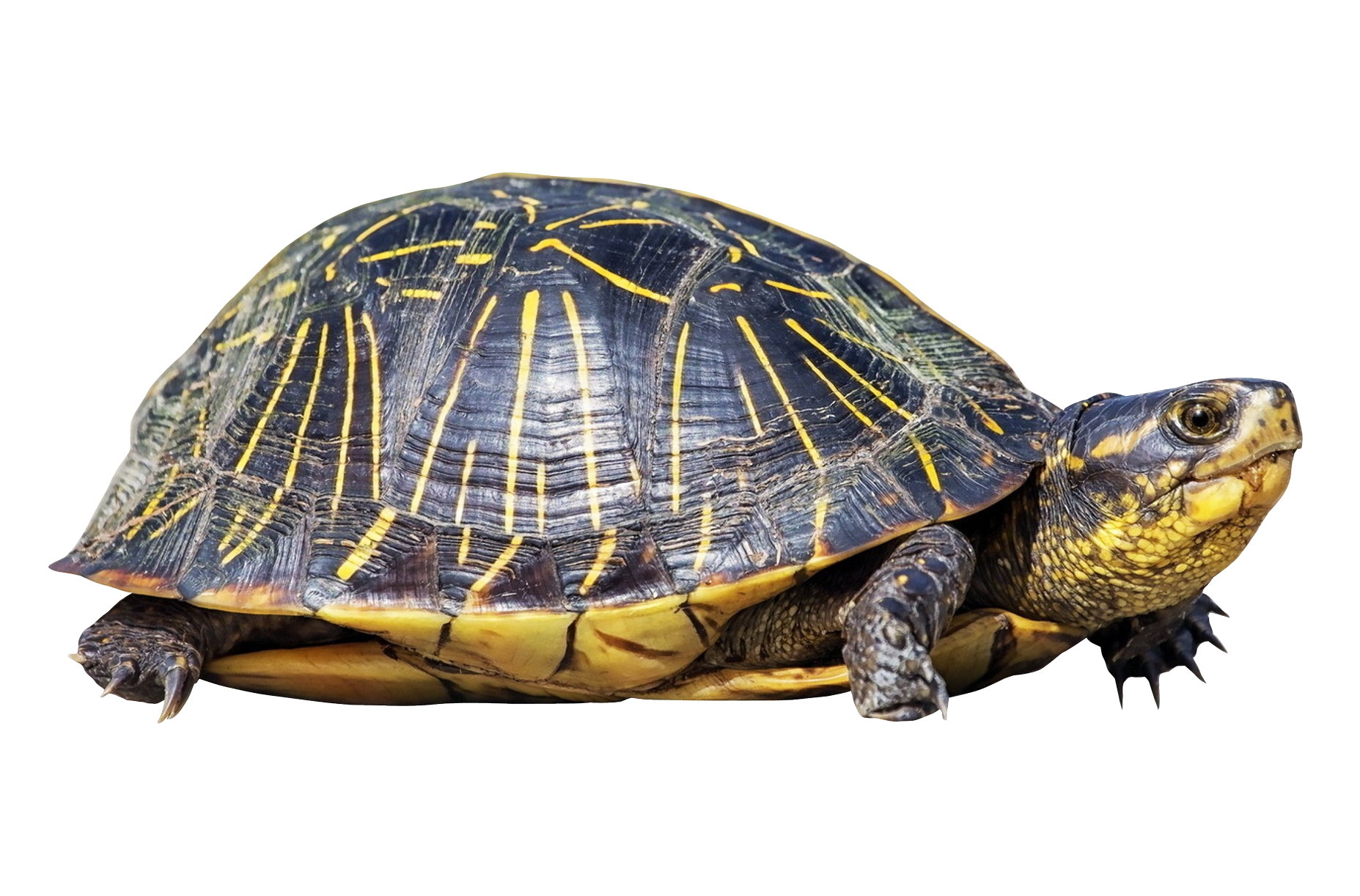 Turtle png. Images free download