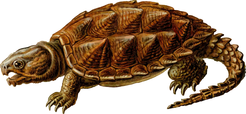 Turtle .png. Snapping png transparent images
