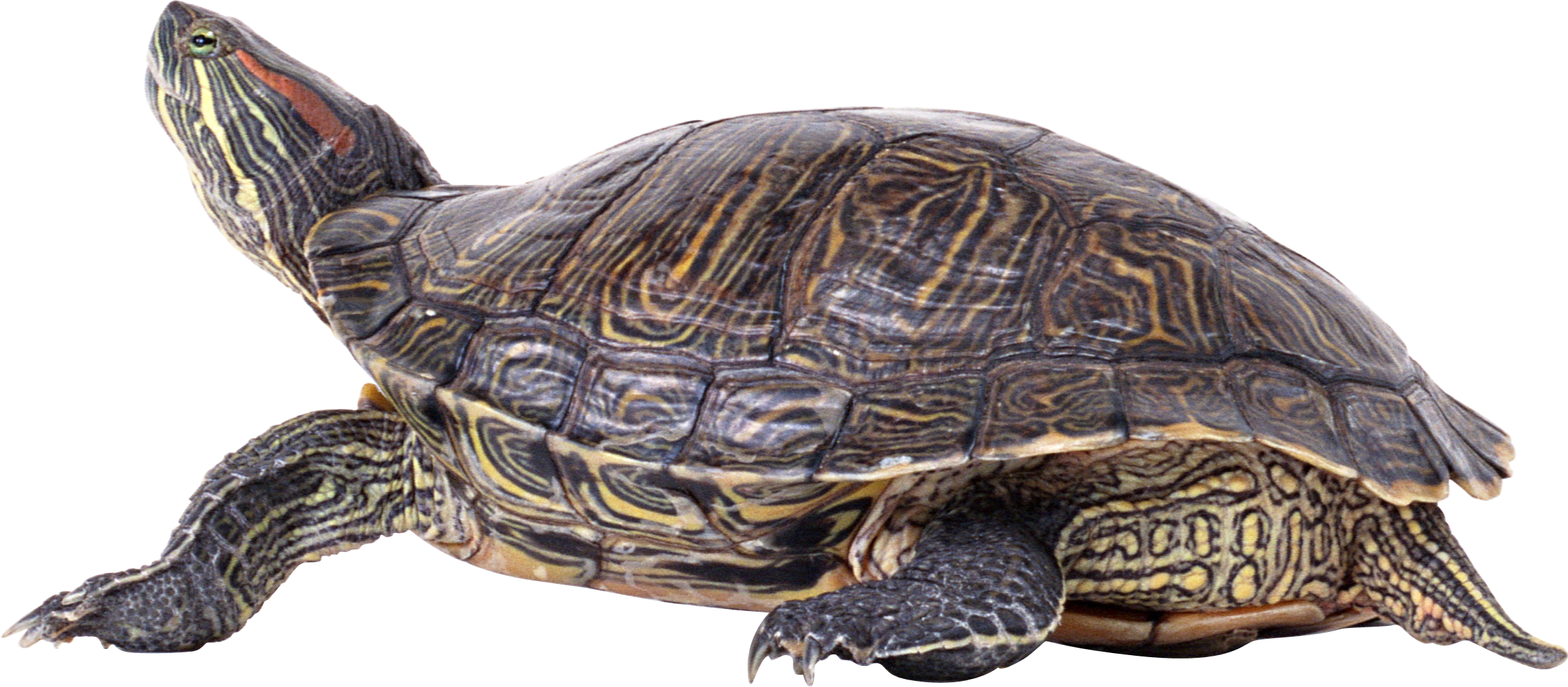 Turtle png.