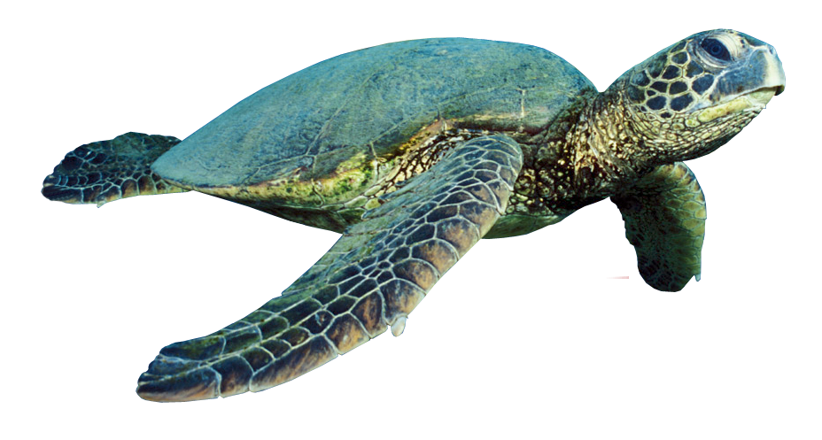 Turtle png. Photo mart