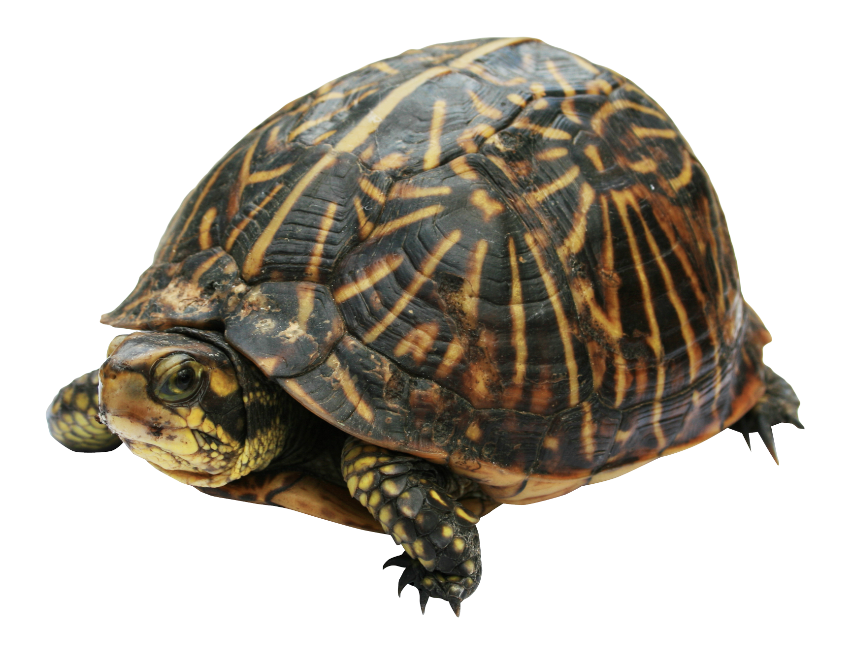 Turtle shell png. Image purepng free transparent