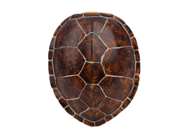 Turtle shell png. Transparent image arts