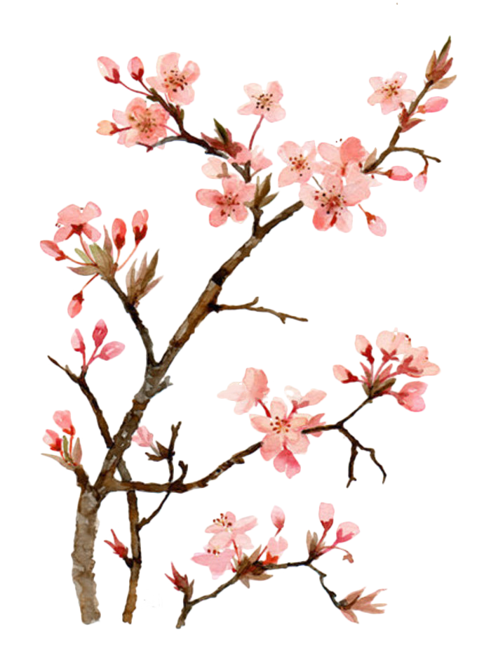 Twig drawing cherry blossom. Watercolor painting peach transprent