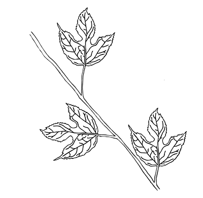 Field botany enter the. Twig drawing compound leaf clipart royalty free library