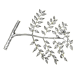 Glossary bipinnate arrangement example. Twig drawing compound leaf image