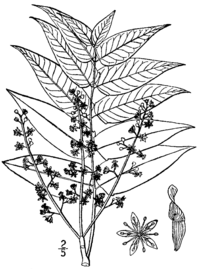 Tree of heaven ailanthus. Twig drawing compound leaf banner library library