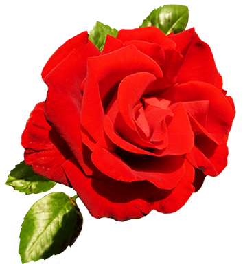 Valentine png rose. Clipart of day roses