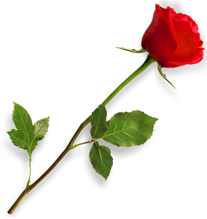 Valentine flowers png. Red rose clipart picture