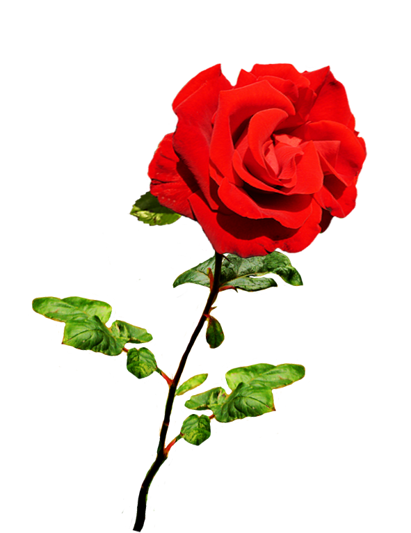 Valentine rose png. Clipart of day roses