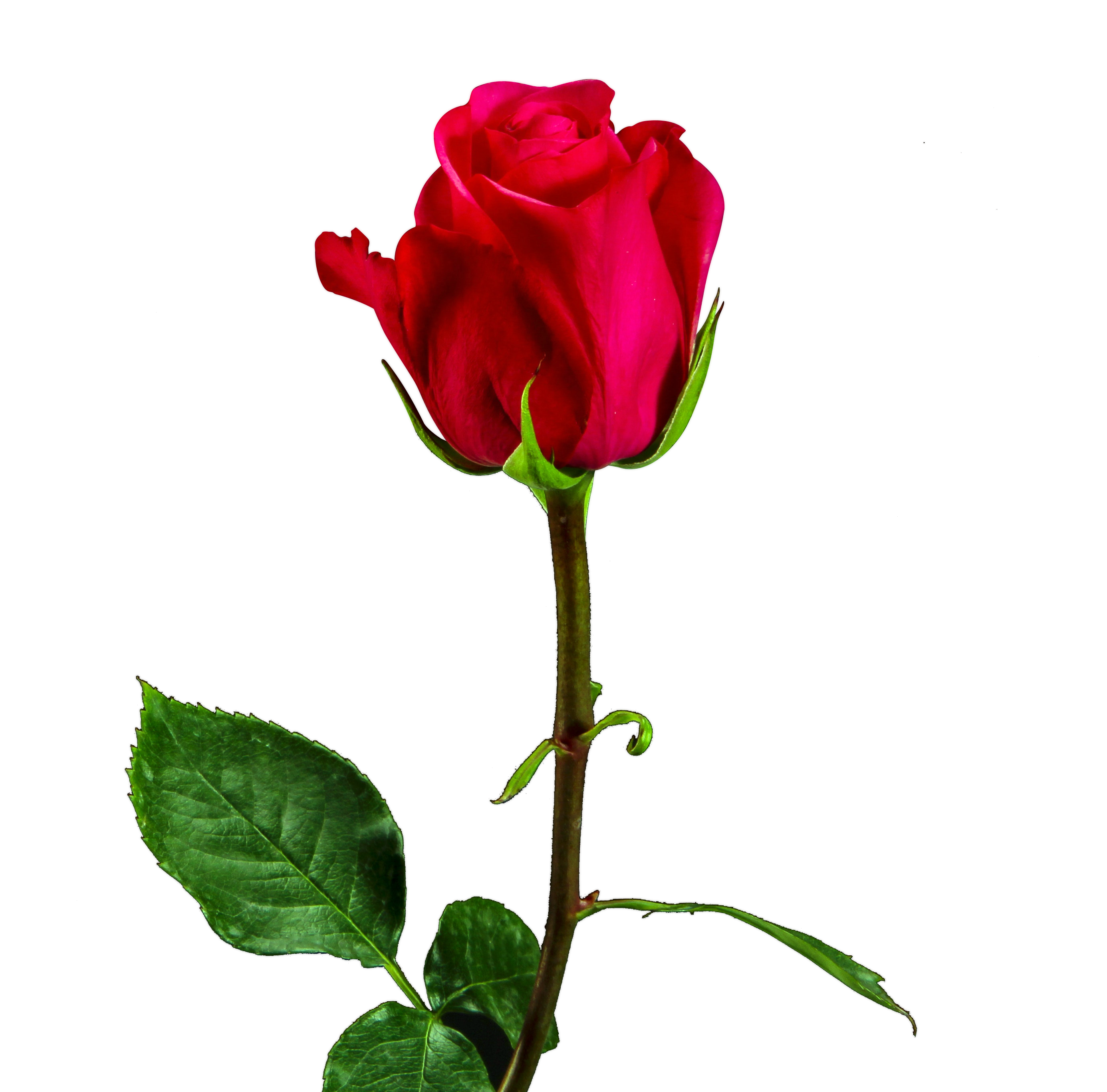 Valentine rose png. Day red image free