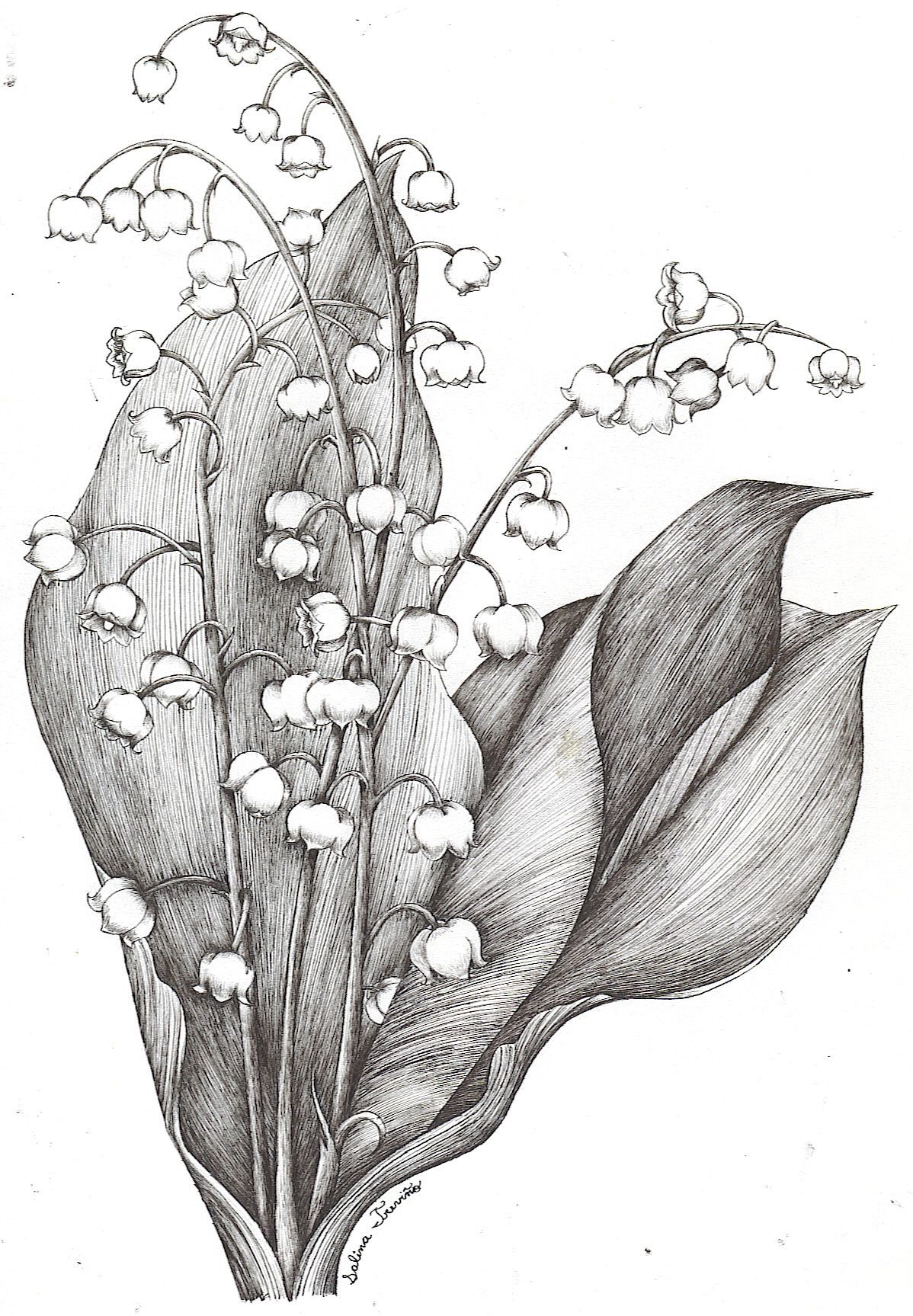 Valley clipart sketch. Lily of the by