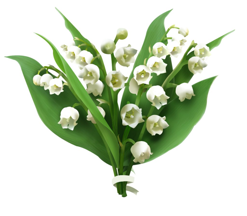 Valley vector lily. Of the png picture