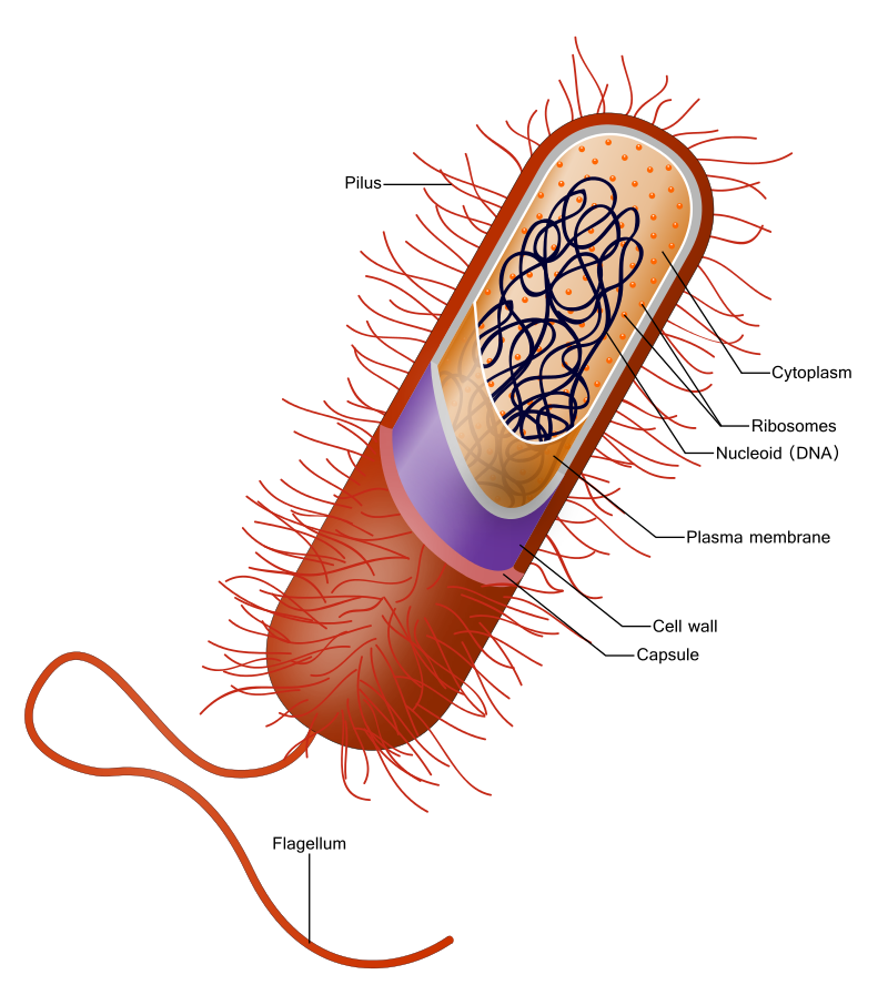 Vector bacteria. A diagram of typical