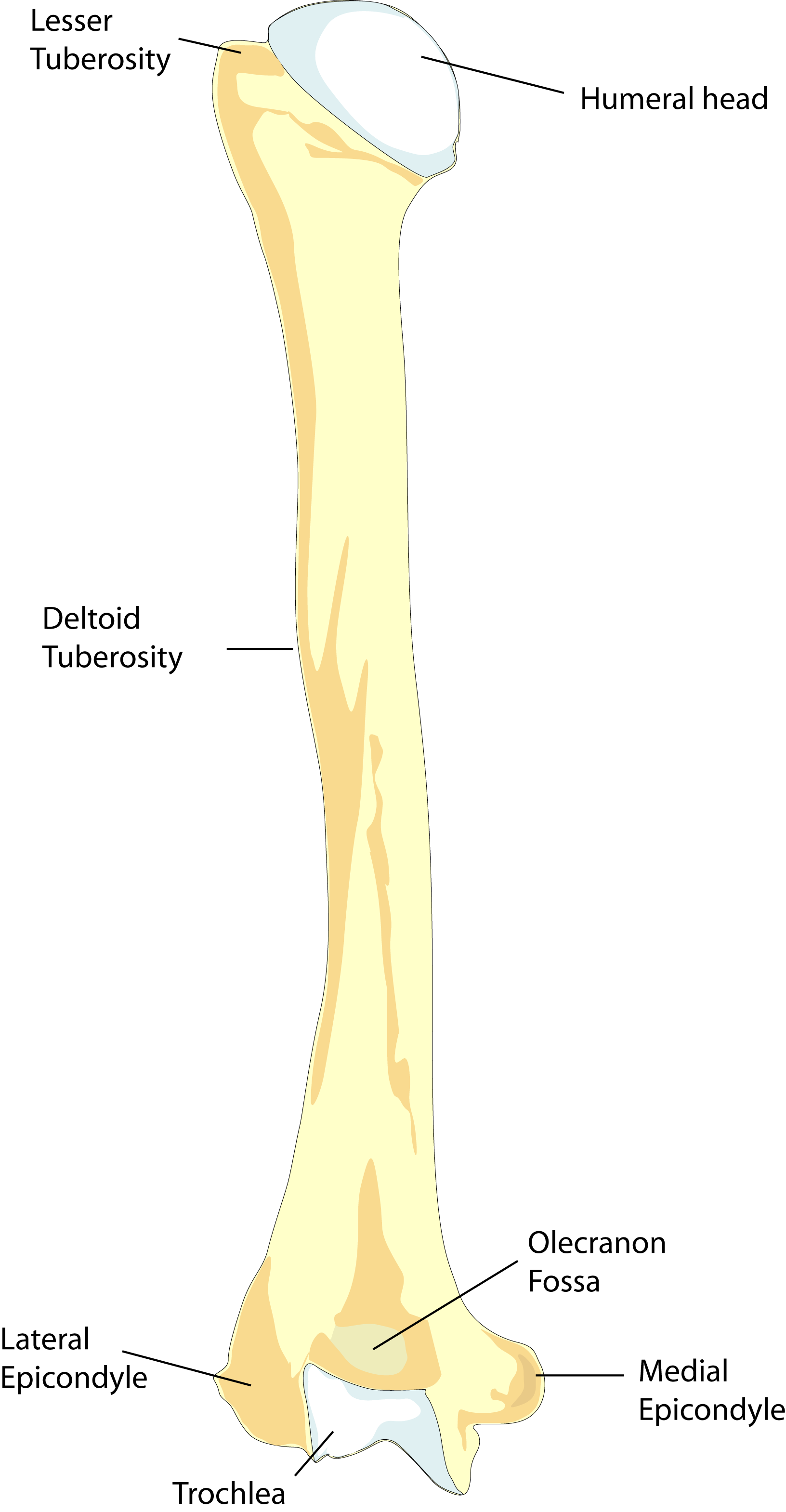Vector bone humerus. Left posterior view
