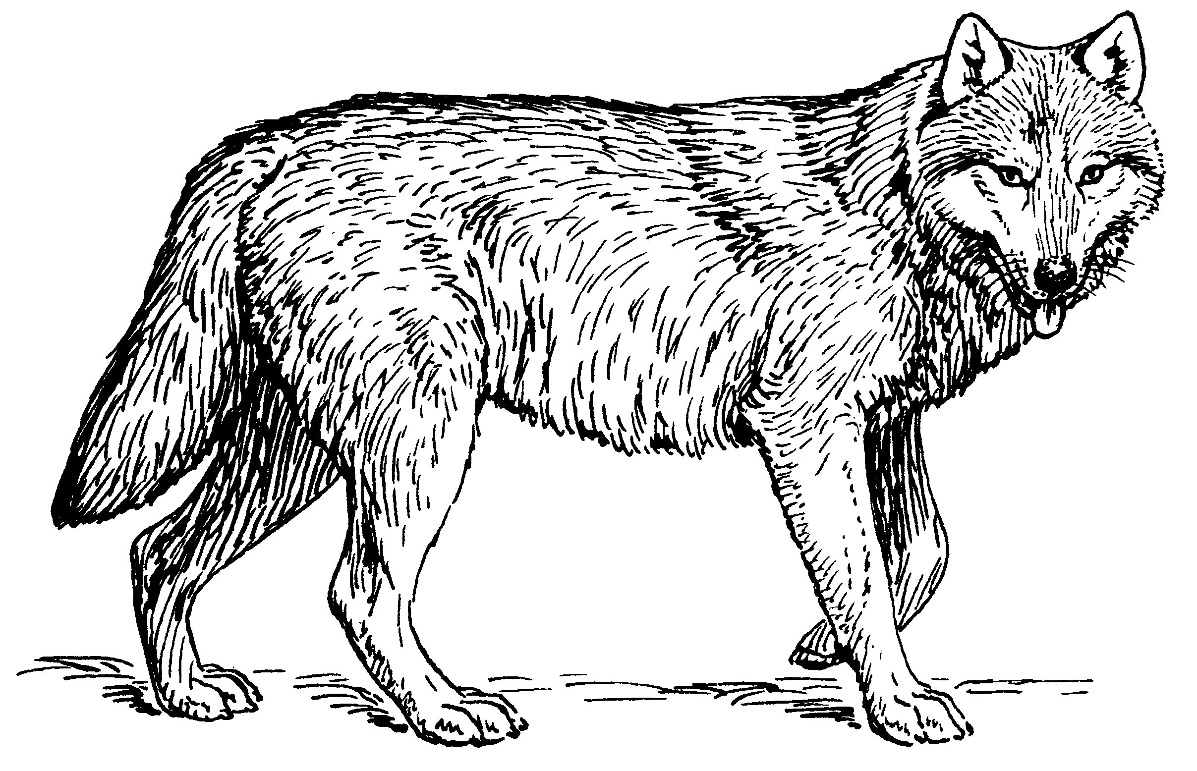 Vector cag psf. File wolf cleaned png
