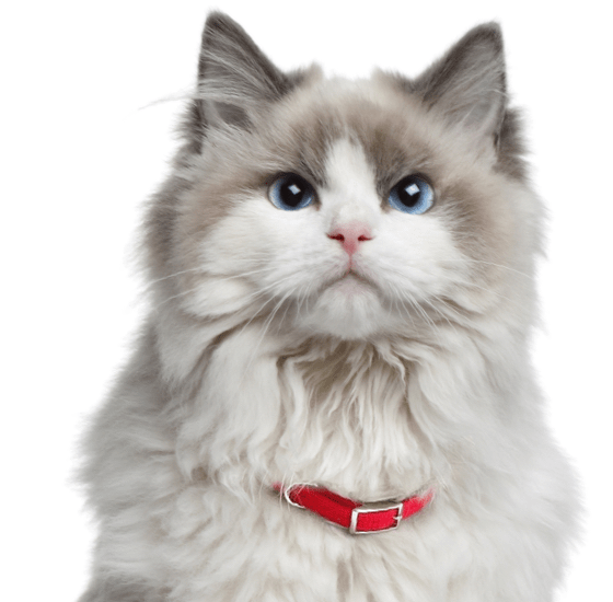 Vector cats ragdoll cat. Kittens search
