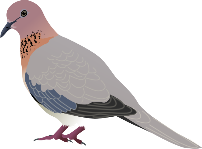 Vector doves mourning dove. File laughing svg wikimedia